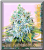 Cinderella 99 Feminized Mix & Match Seeds